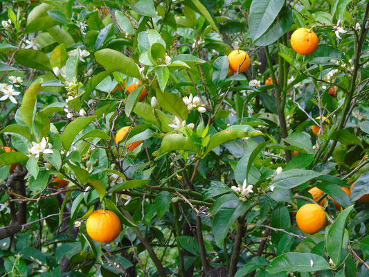 Citrus en fleur, corse bien sûr - Tous droits réservés Claire Lucas ©