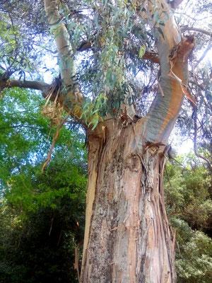 Eucalyptus, sur la route de Piana - Tous droits réservés Agnès Addey©