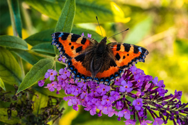 Schmetterling Dürig Gärten