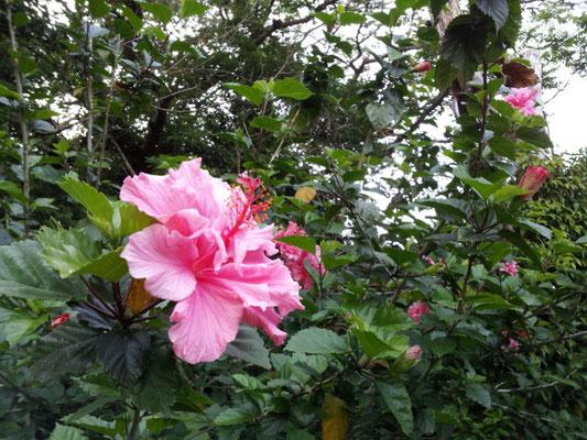 ピンクのハイビスカス Hibiscus
