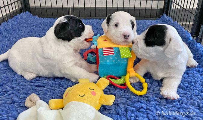 Sealyham Terrier L-Wurf - Woche 3