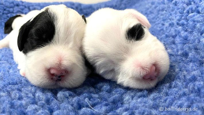 Sealyham Terrier L-Wurf - Woche 2