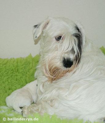 Sealyham Terrier L-Wurf - Woche 1