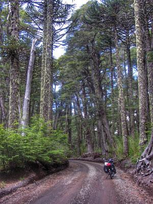 Araukarienwälder im Conguillio Nationalpark