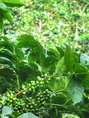 Unterwegs im Kaffeehochland