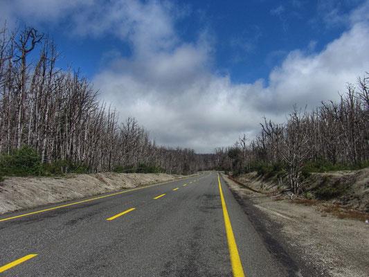 Abgestorbene Bäume, 2011 ist der Vulkane Puyehue ausgebrochen