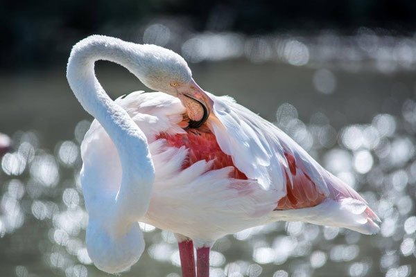 Flamant rose 03