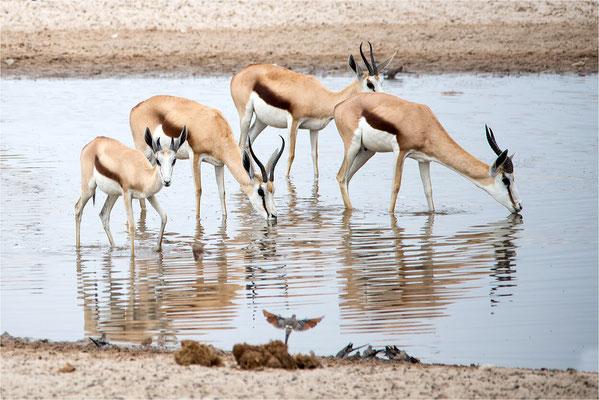 Etosha - Springbok 06