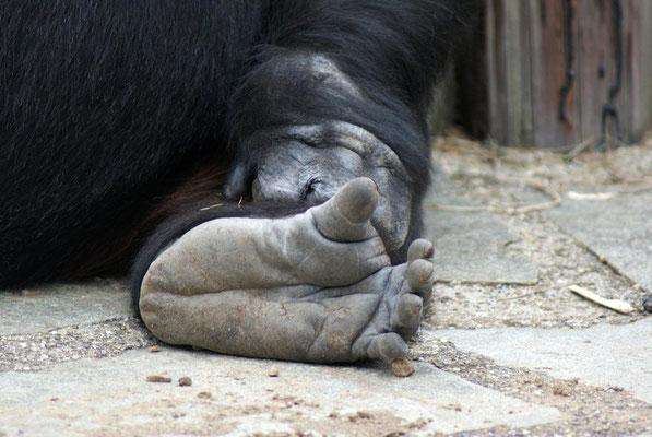 Gorilles 02