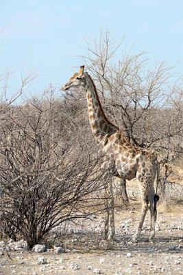 Etosha - Girafes 03