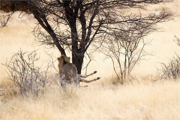 Etosha - Lions 03