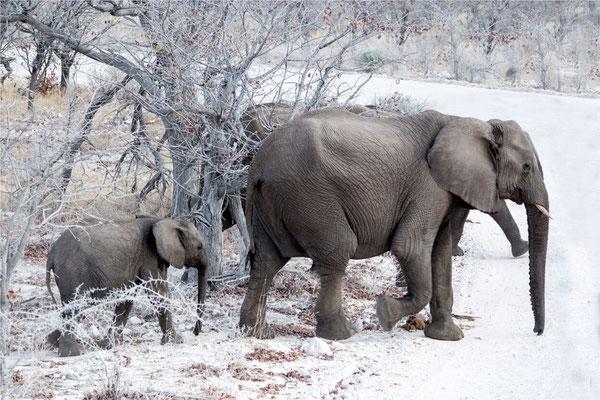 Etosha - Eléphants 15