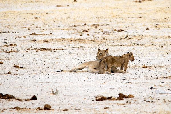 Etosha - Lions 17
