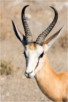 Etosha - Springbok 02