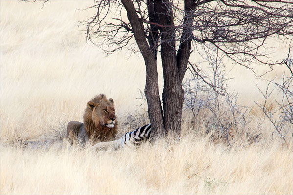 Etosha - Lions 02