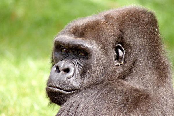 Gorilles 03