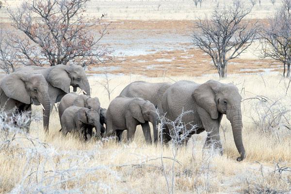 Etosha - Eléphants 14