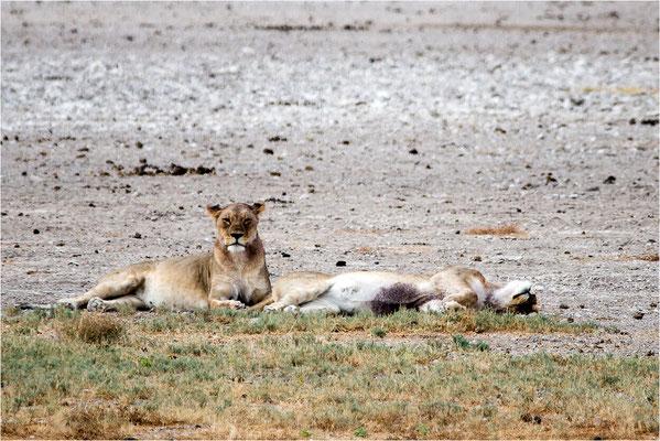 Etosha - Lions 10