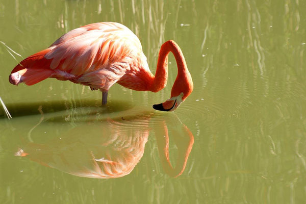 Flamant rose 01