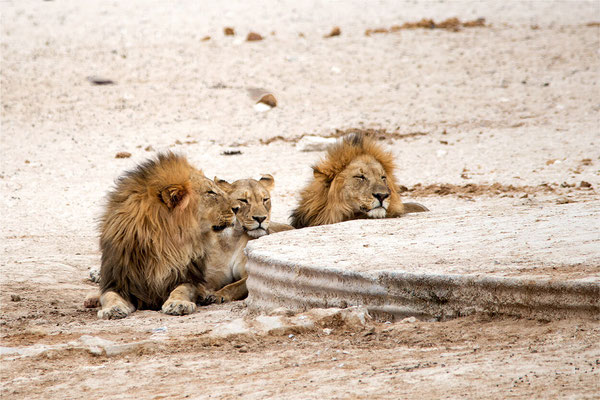 Etosha - Lions 15