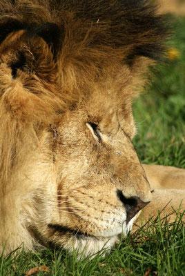 Lions 01