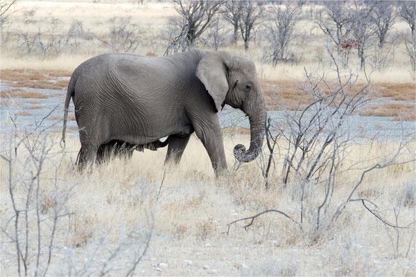Etosha - Eléphants 12