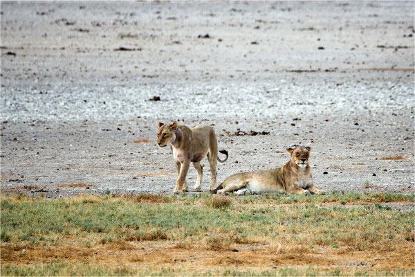 Etosha - Lions 12
