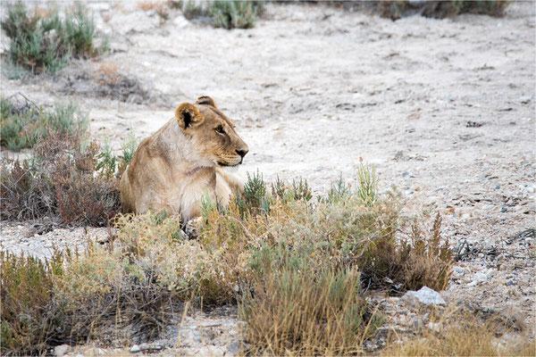 Etosha - Lions 06