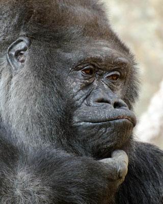 Gorilles 08