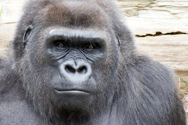 Gorilles 01