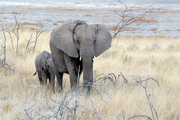 Etosha - Eléphants 13