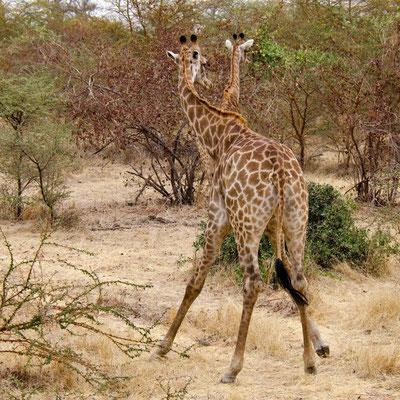 Girafes 03