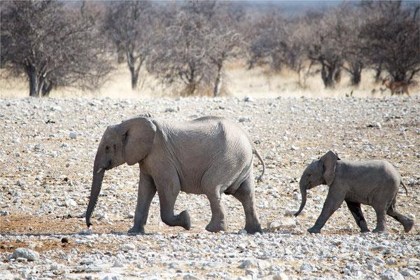 Etosha - Eléphants 04