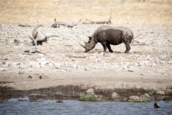 Etosha - Rhinocéros 04