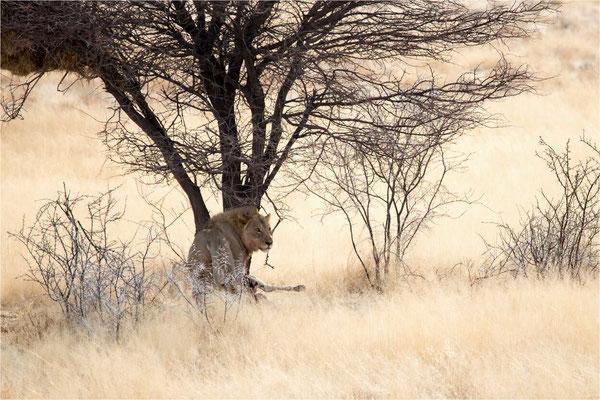 Etosha - Lions 04