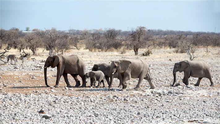 Etosha - Eléphants 02