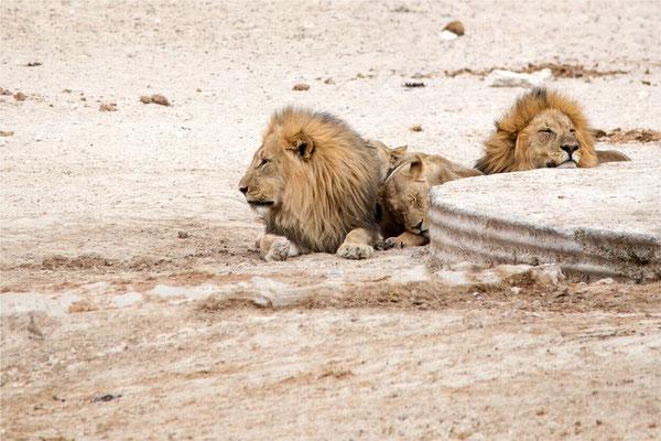 Etosha - Lions 14