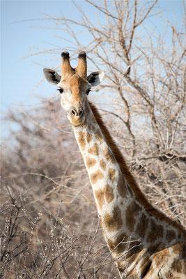 Etosha - Girafes 04