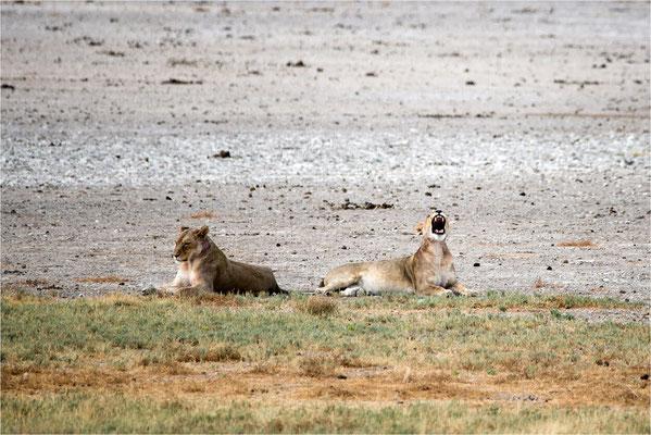 Etosha - Lions 13