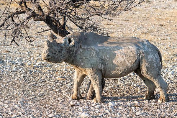 Etosha - Rhinocéros 03