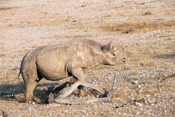 Etosha - Rhinocéros 01