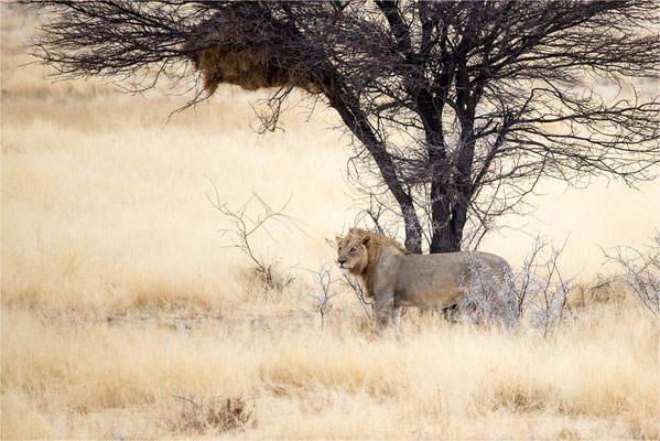 Etosha - Lions 05