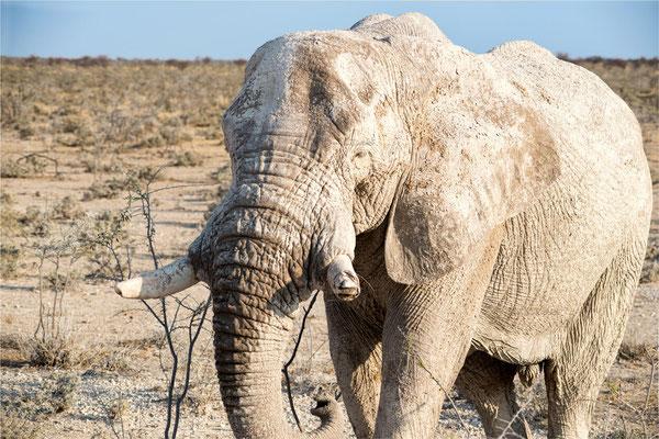 Etosha - Eléphants 06
