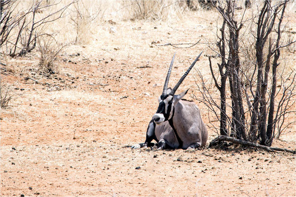 Etosha - Oryx 01