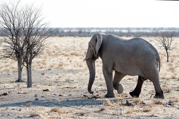 Etosha - Eléphants 10