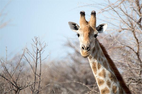 Etosha - Girafes 02