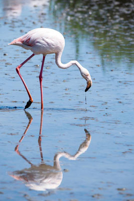 Flamant rose 04