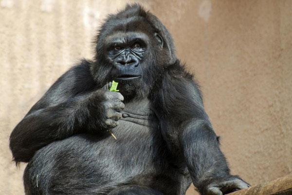 Gorilles 07