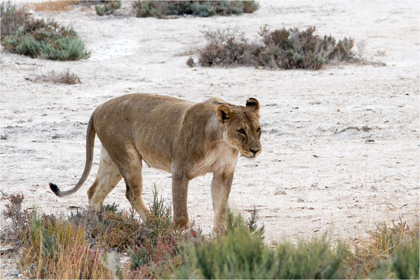 Etosha - Lions 09