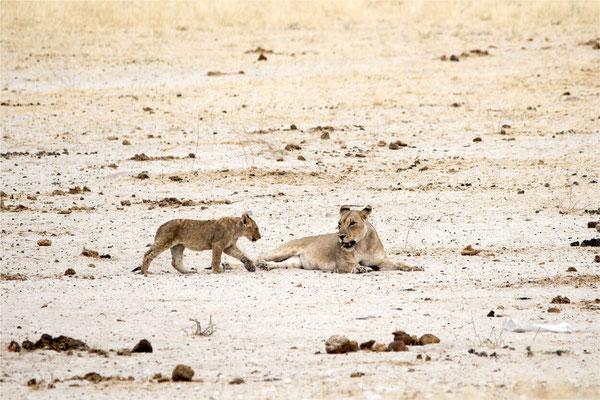 Etosha - Lions 16